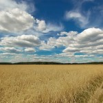 Wheat field. Russian landscapes by photographer Aleksandr Danilin