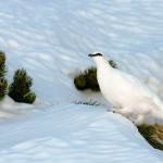 White splendor. Beautiful wildlife by nature photographer Tomaz Benedicic