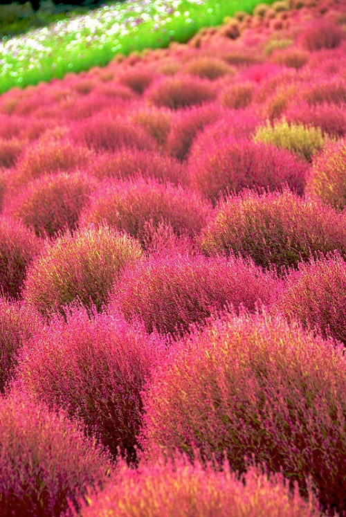 Country of Flowers Hitachi Seaside Park