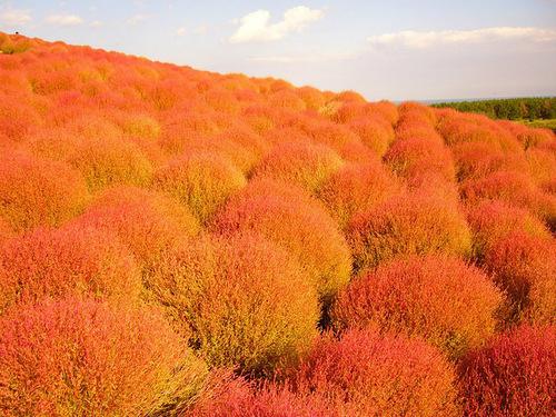 Hitachi Seaside Park - National Park of flowers. Ibaraki Prefecture, Japan