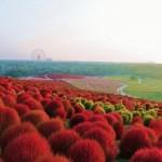 Raspberry, red and orange color bushes. Hitachi Seaside Park