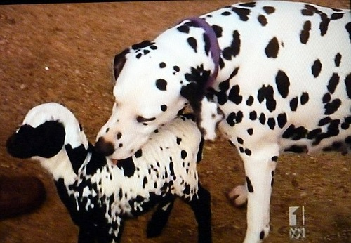 Lamb that thinks it is a spotted dog, adopted by Zoe the dalmatian in Australia. See story by Frank Thorne. Image from TV news August 10, 2012.