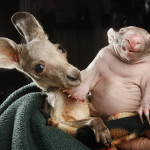 Happy together. Orphaned kangaroo joey and wombat joey who share a pouch at the Wild about Wildlife Kilmore Rescue Center in Victoria, Australia – 31 Jul 2012