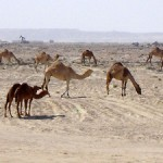 Camels in the desert Landscape around the loneliest in the world Tree of Life