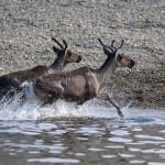 deer leaving the river