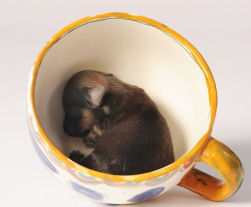 Britain's tiniest puppy Mini