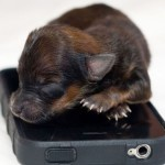 On a mobile phone, cute puppy Mini