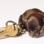With keys, charming puppy Mini