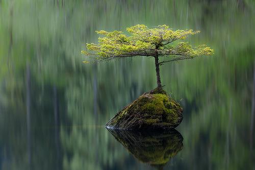 Bonsai conifer by Adam Gibbs