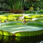 The surface of the Amazonian water lilies can withstand loads of up to several tens of kilograms