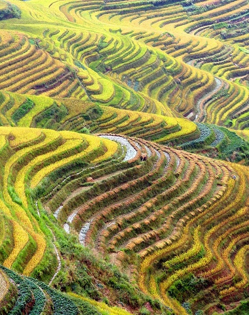 Rice fields in China and Japan