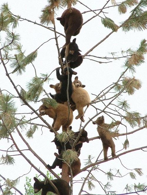 Bears climbing trees