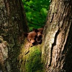 Hiding in the trees bears