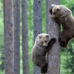 A couple of bear cubs climbing the trees