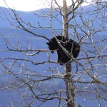 A lonely bear in the tree