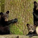 Beautiful photo of three bear cubs climbing the trees