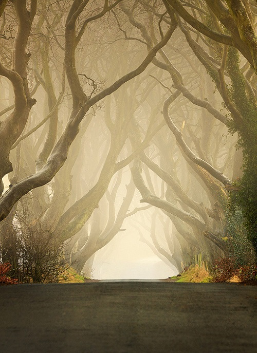 Dark hedges of Northern Ireland - beautiful old avenue of Beech Trees in Northern Ireland