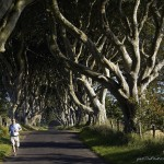 Giant old trees grow along the road. Dark hedges in Northern Ireland