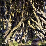 Old avenue of Beech Trees in Northern Ireland