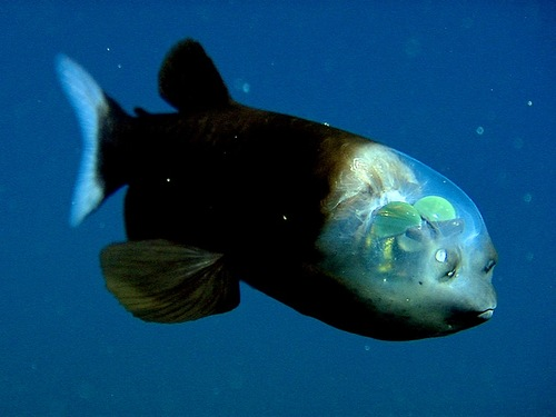 Deep-sea fish Macropinna microstoma