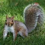 Gray squirrels are the most common ones in the world. They are mostly referred to as the Eastern gray squirrels.