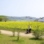 Rapeseed meadows in restored Hitachi Seaside Park
