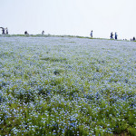 Cornflower and lavender fields