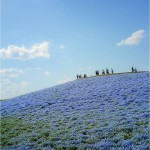 Endless cornflower fields. Beautiful restored after the tsunami of 2011 The Hitachi Seaside Park