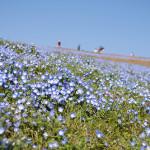 Blue and white petunia