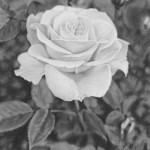 Exquisite white rose. Hyperrealistic pencil drawing by American self-taught artist Randy Hann