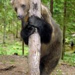 Hugging a tree Ilzit, the bear