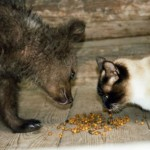 Eating with a pet cat, Ilzit, the bear