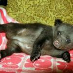 Cute Ilzit, the bear