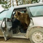 Traveling by car Ilzit, the bear