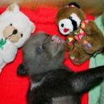 Teddy bears and real bear Ilzit