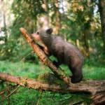 Walking in the forest Ilzit, the bear