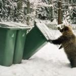 Checking garbage bins Ilzit, the bear