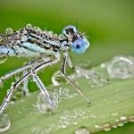 David Chambon has created an amazing series of photographs Insects in dewdrops