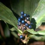 Berries Pollia condensata