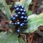 Glittering berries Pollia condensata