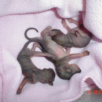 The newborn squirrels are naked (without fur) and are called kittens. They remain blind for almost 2 months or more.