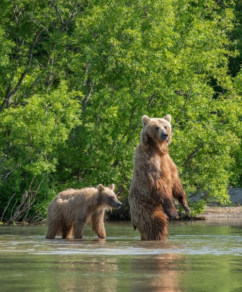 Kamchatka bears on Kurilsky lake