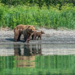 Teaching bear cubs to catch fish