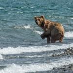 Kurilsky lake, bear going to fish