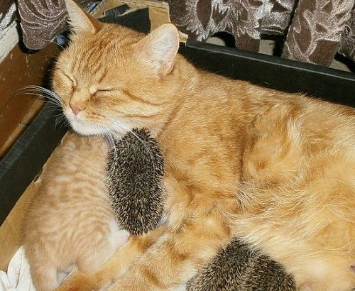 Russian cat Sonya, whose love and care rescued orphaned tiny and blind hedgehogs