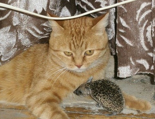 Cat and hedgehogs story