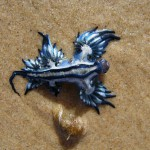Blue Angel of sea – Glaucus atlanticus