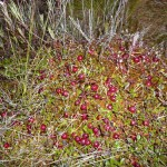 Marsh berries