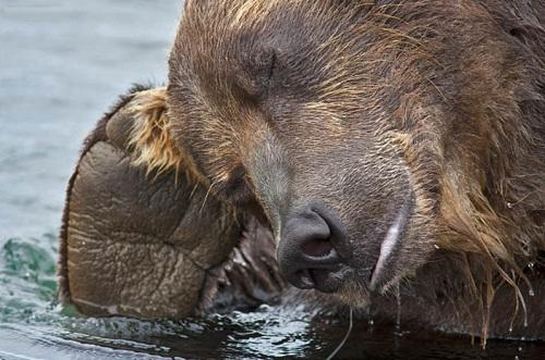 Brown bear teaching her cubs