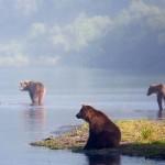 Three bears ready to start fishing. Kamchatka region, Russia. Photographer Sergei Krasnoshchekov